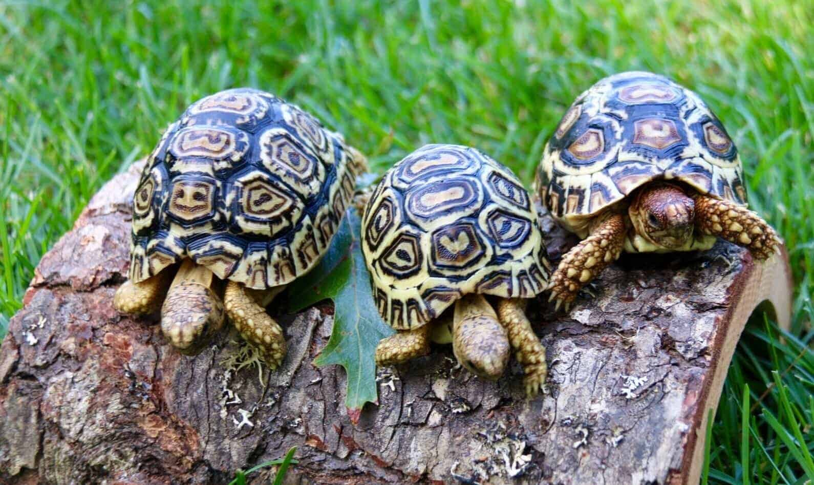 Image result for leopard tortoise