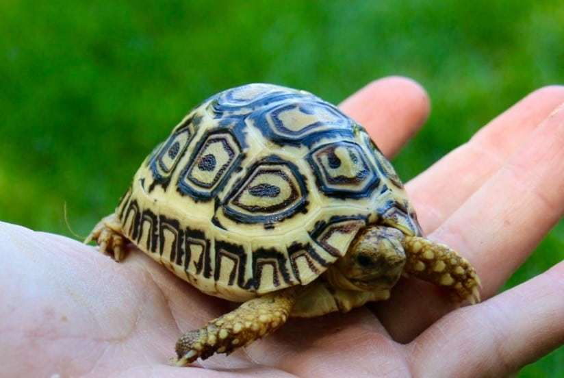ivory leopard tortoise for sale