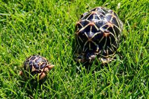 Baby Indian Tortoise for sale