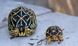 Indian tortoise for sale