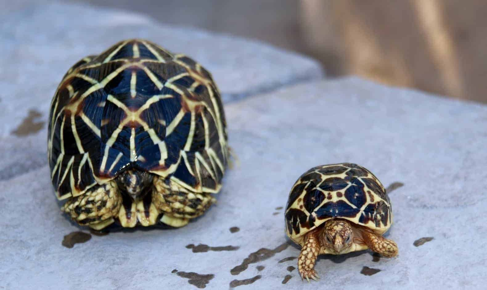 Indian Star Tortoise For Sale Online Indian Star Tortoises