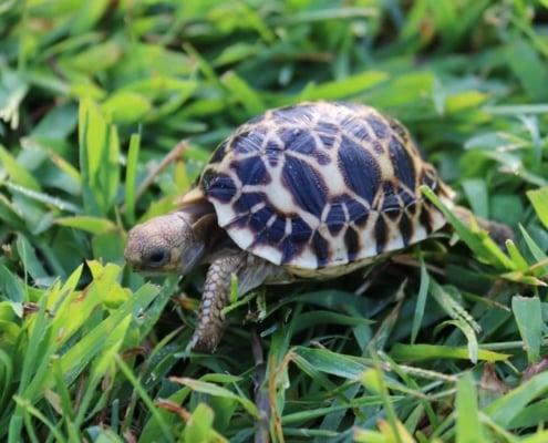 burmese star tortoise breeders