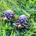 burmese star tortoises