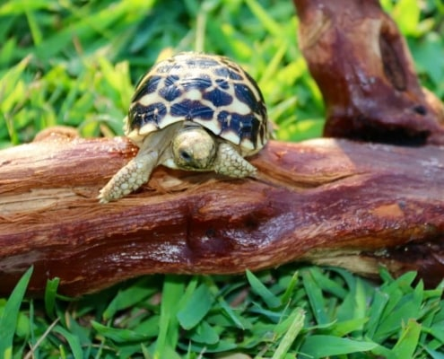 baby burmese star tortoise