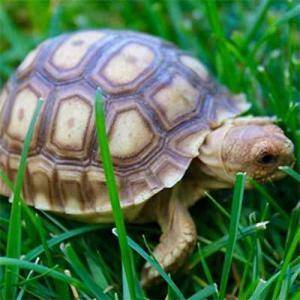 juvenile Sulcata tortoise for sale