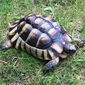 marginated tortoises
