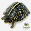 ornate box turtle for sale