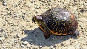 ornate box turtle for sale near me