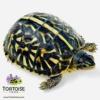ornate box turtles for sale