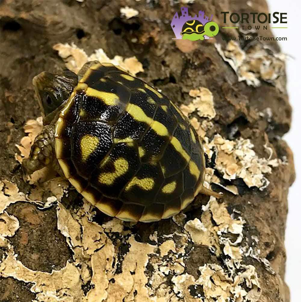 Ornate Box Turtle For Sale Baby Box Turtles For Sale