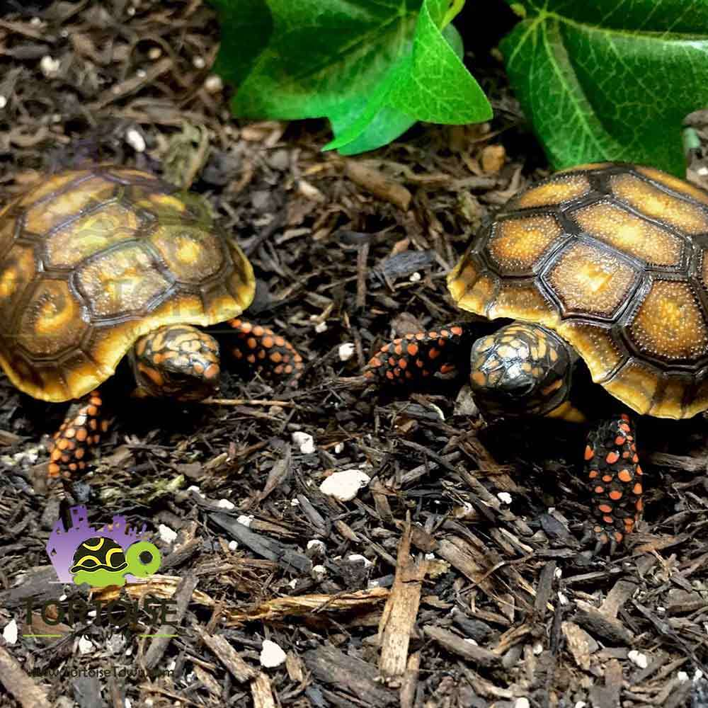 red foot tortoise for sale