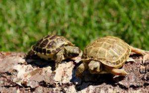 russian tortoise breeders