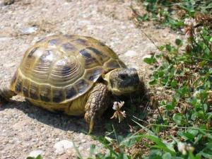 russian tortoise for sale near me