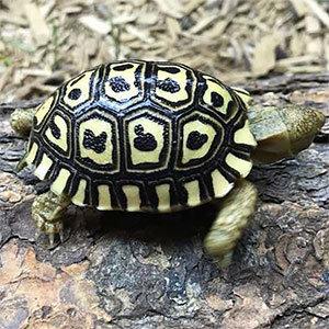 giant leopard tortoise