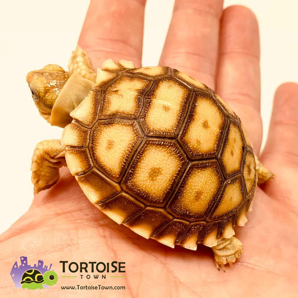 Sulcata Tortoise For Sale Online Overnight Shipping From