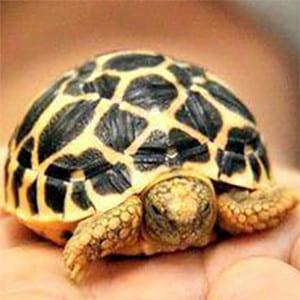 sri lankan star tortoise