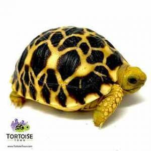 Star tortoise for sale