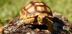Sulcata tortoise for sale cheap