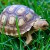 Sulcata tortoises for sale