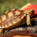 sulcata tortoise eating watermelon