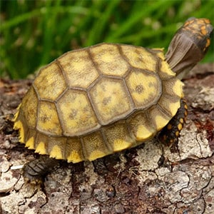 yellow foot tortoise