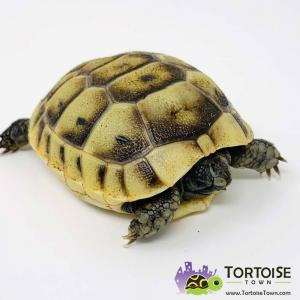 Ibera Greek tortoises for sale