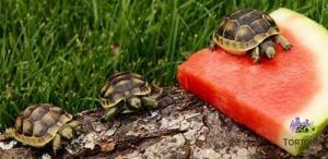 Greek tortoise habitat