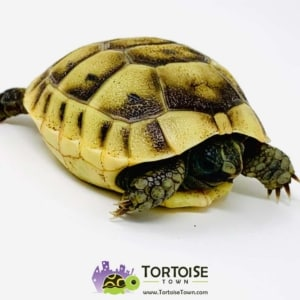 baby greek tortoise for sale
