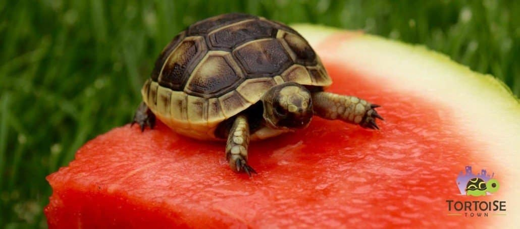 baby greek tortoise