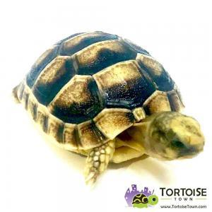 baby marginated tortoises for sale