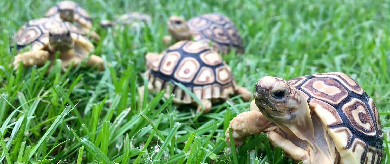 leopard tortoise world pet baby leopard tortoise for