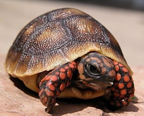 baby cherry head red foot tortoise for sale