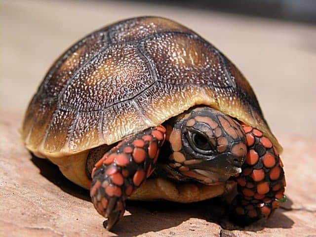 Cherry Head Red Foot Tortoise For Sale Baby Red Foot