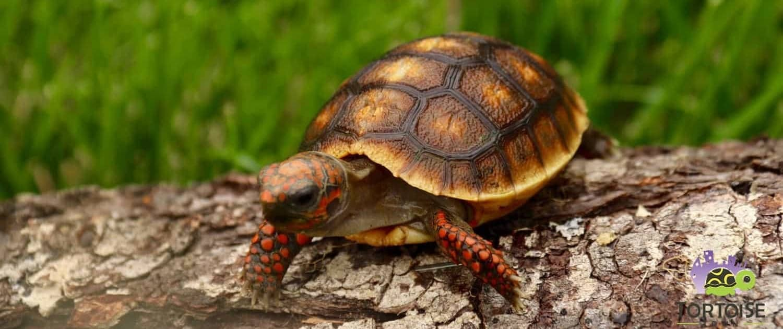 baby cherry head tortoise for sale
