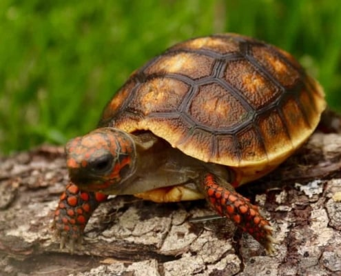 baby cherry head tortoise for sale