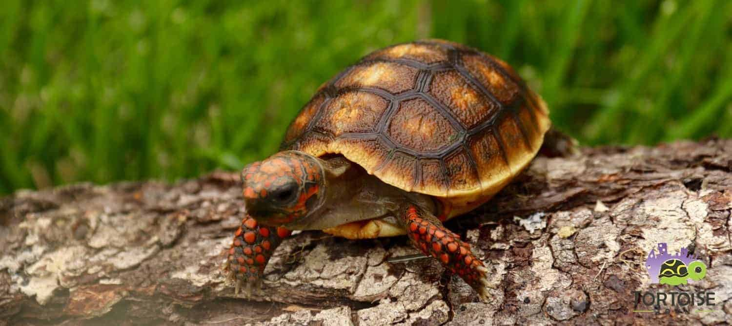 Cherry Head Tortoise For Sale Baby Cherry Head Red Foot