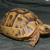 golden greek tortoise for sale