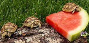 greek tortoise care