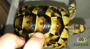 Ibera Greek tortoises for sale