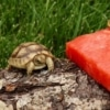 golden greek tortoise hatchlings