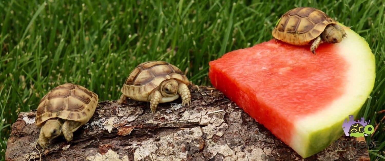 golden greek tortoise hatchlings