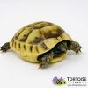 Ibera Greek tortoise