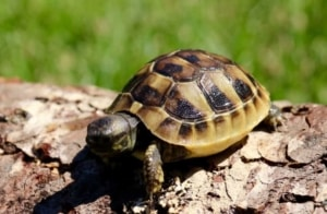 ibera greek tortoise for sale