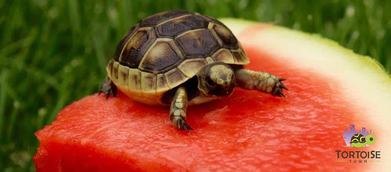 ibera greek tortoise - photo #17