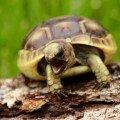 greek tortoise for sale