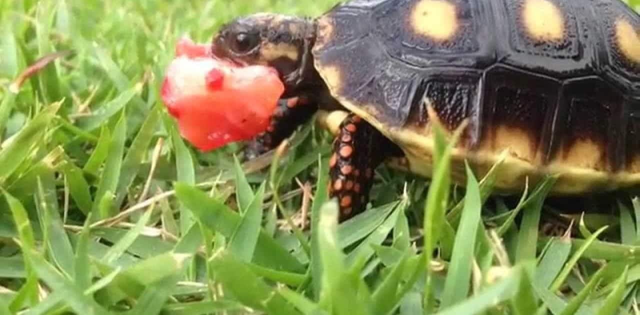 cherry head red foot tortoise