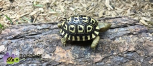 leopard tortoise care sheet