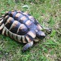 baby marginated tortoise for sale