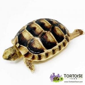 Marginated tortoise breeders