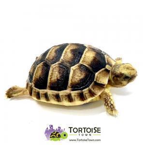 Marginated tortoises for sale